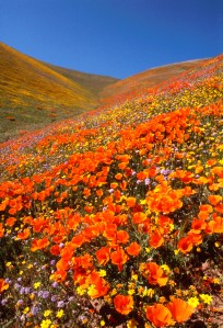Calif.Poppies-4585_w
