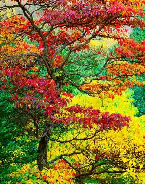 The brilliant red, orange, yellow and purple autumn foliage colors of a  Sassafras tree in the Hoyt Arboretum, Portland, Oregon.  The autumn colors of the background trees help to enhance the Sassafras tree colors.