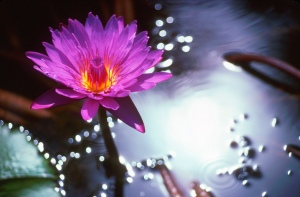 WaterLily_e